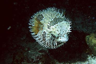 Black-blotched porcupinefish inflated at night, Diodon liturosus, Similan Islands, Thailand, Andaman Sea, Southeast Asia, Asia