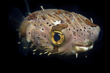 Balloonfish (Diodon holocanthus) at night, Dumaguete, Negros, Philippines, Southeast Asia, Asia