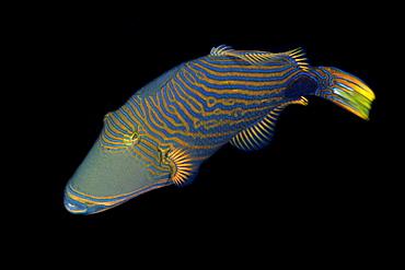 Orange-lined triggerfish (Balistapus undulatus), Sahara, Dumaguete, Negros, Philippines, Southeast Asia, Asia