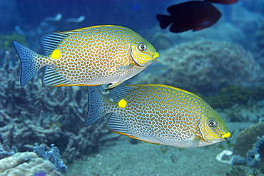 Pair of spotted rabbitfish (golden rabbitfish) (Siganus guttatus) swimming in mid-water, Dumaguete, Negros, Philippines, Southeast Asia, Asia