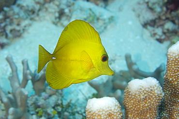 Yellow tang (Zebrasoma flavescens), Rongelap, Marshall Islands, Micronesia, Pacific
