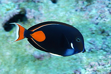 Achilles tang (Acanthurus achilles), Rongelap, Marshall Islands, Micronesia, Pacific