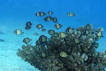 Reticulated dascyllus (Dascyllus  reticulatus) hovering over coral, Rongelap, Marshall Islands, Micronesia, Pacific