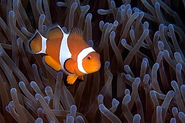 False clown anemone fish (Amphiprion ocellaris), Dauin, Dumaguete, Negros Island, Philippines, Southeast Asia, Asia