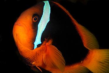 Female tomato anemonefish (Amphiprion frenatus), Dumaguete, Negros Island, Philippines, Southeast Asia, Asia