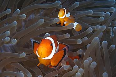 Pair of false clown anemone fish (Amphiprion ocellaris), Dauin, Dumaguete, Negros Island, Philippines, Southeast Asia, Asia