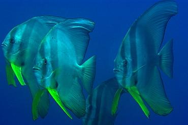 Longfin spadefish (Platax teira) schooling, Dauin, Dumaguete, Negros Island, Philippines, Southeast Asia, Asia