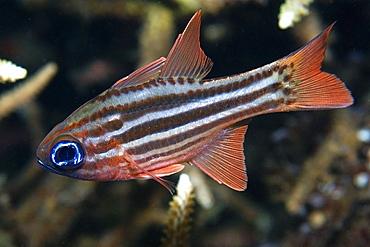 Split-banded cardinalfish (Apogon compressus), Dumaguete, Negros Island, Philippines, Southeast Asia, Asia
