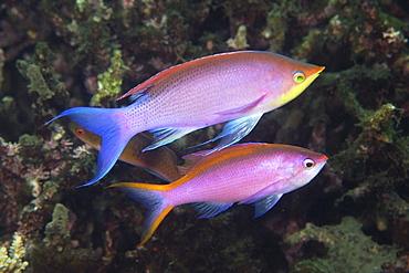 Pair of purple anthias (Pseudanthias tuka) male and female, Dumaguete, Negros Island, Philippines, Southeast Asia, Asia
