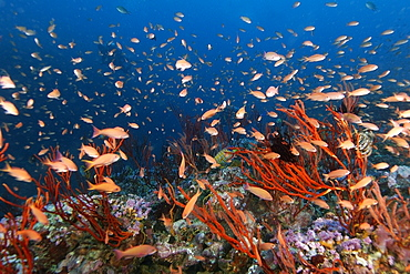 Thousands of scalefin anthias (Pseudanthias squamipinnis), hovering over colonies of red whip coral (Ellisella sp.), Canyons, Puerto Galera, Mindoro, Philippines, Southeast Asia, Asia
