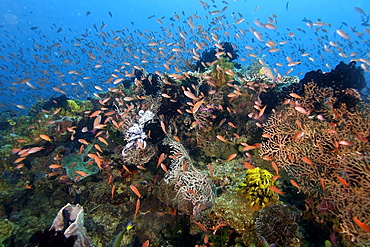 Thousands of scalefin anthias (Pseudanthias squamipinnis), hovering over sea fans and feather stars, Puerto Galera, Mindoro, Philippines, Southeast Asia, Asia