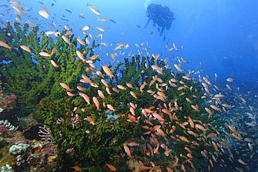 Thousands of scalefin anthias (Pseudanthias squamipinnis) hovering over green coral (Tubastrea micrantha), Puerto Galera, Mindoro, Philippines, Southeast Asia, Asia