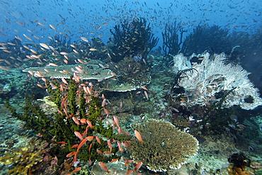 Thousands of scalefin anthias (Pseudanthias squamipinnis), hovering over corals, Kilima steps, Puerto Galera, Mindoro, Philippines, Southeast Asia, Asia