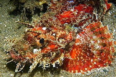 Papuan scorpionfish (Scorpaenopsis papuensis), Dumaguete, Negros, Philippines, Southeast Asia, Asia