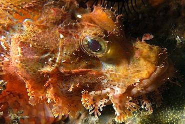 Papuan scorpionfish (Scorpaenopsis papuensis), head detail, Dumaguete, Negros, Philippines, Southeast Asia, Asia