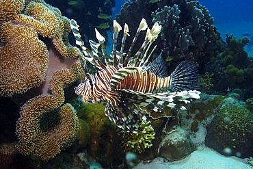 Common lionfish (Pterois volitans), Dumaguete, Negros Island, Philippines, Southeast Asia, Asia