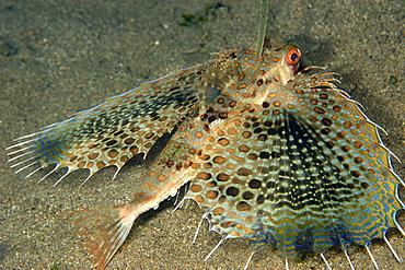 Helmut gurnard (Dactyloptena orientalis), Dumaguete, Negros, Philippines, Visayan sea, Southeast Asia, Asia