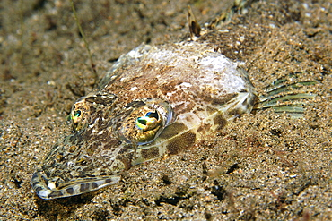 Flathead (Thysanophrys sp.) head detail, Dumaguete, Negros, Philippines, Southeast Asia, Asia