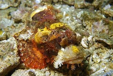 Scorpionfish (Scorpaenopsis sp.), Gato Island, Northern Cebu, Philippines, Southeast Asia, Asia