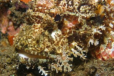 Scorpionfish (Scorpaenopsis sp.), head detail, Dumaguete, Negros Island, Philippines, Southeast Asia, Asia
