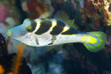 Mimic filefish (Paraluteres prionurus) mimics black-saddled toby, Dungan wall, Puerto Galera, Mindoro, Philippines, Southeast Asia, Asia