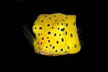 Yellow boxfish (Ostracion cubicus) juvenile, Dumaguete, Negros Island, Philippines, Southeast Asia, Asia