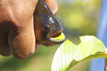 Bite of a piranha (Pygocentrus nattereri) in a leaf, southern Pantanal, Mato Grosso do Sul, Brazil, South America