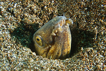 Snake eel (Ophichthus sp.), burried under sand, Cars, Dumaguete, Negros Island, Philippines, Southeast Asia, Asia