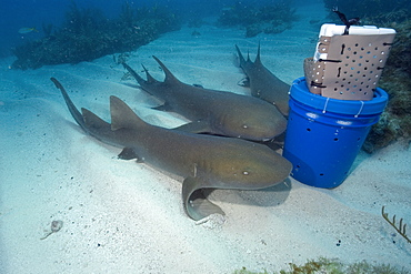 Nurse sharks (Ginglymostoma cirratum) attracted by scent released from chum bucket, Molasses Reef, Key Largo, Florida, United States of America, North America