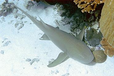 Tawny nurse shark (Nebrius ferrugineus) head detail, Jaboan, Rongelap, Marshall Islands, Micronesia, Pacific