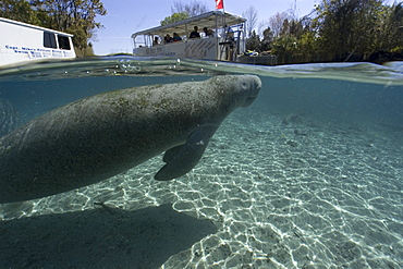 Pontoon boat prepares to unload snorkelers while Florida manatee (Trichechus manatus latirostrus) takes a breath, Crystal River, Florida, United States of America, North America