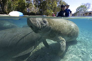 Father and daughter observe Florida manatee (Trichechus manatus latirostrus), Crystal River, Florida, United States of America, North America