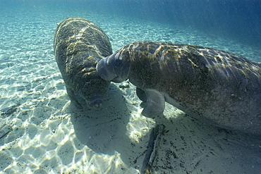 Florida manatee (Trichechus manatus latirostrus), Crystal River, Florida, United States of America, North America