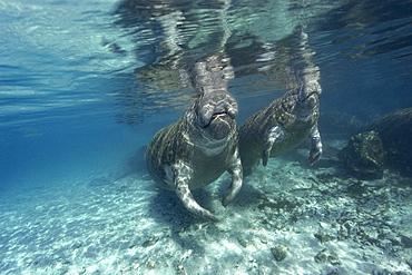 Florida manatees (Trichechus manatus latirostrus) surface to breathe, Crystal River, Florida, United States of America, North America
