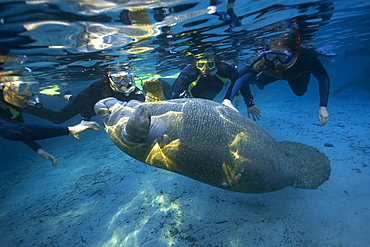 Free divers observe playful Florida manatee (Trichechus manatus latirostrus), Crystal River, Florida, United States of America, North America