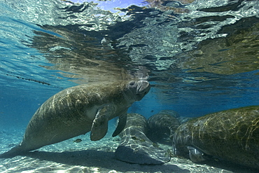 Florida manatee (Trichechus manatus latirostrus) surfaces to breathe, Crystal River, Florida, United States of America, North America