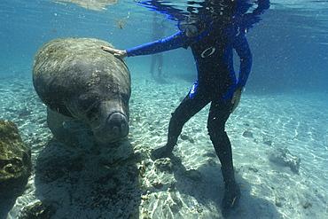 Free diver strokes Florida manatee (Trichechus manatus latirostrus), Crystal River, Florida, United States of America, North America