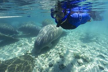 Free diver observes Florida manatee (Trichechus manatus latirostrus), Crystal River, Florida, United States of America, North America