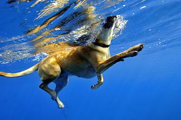Golden retriever dog swimming underwater, Kealakekua Bay, Captain Kook, Big Island, Hawaii, United States of America, Pacific