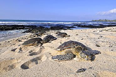 Green sea turtles (Chelonia mydas) resting on the beach, Kona, Big Island, Hawaii, United States of America, Pacific - 920-547