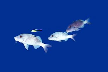 Doublebar goatfish (Parupeneus bifasciatus) white phase, and cleaner wrasse (Labroides dimidiatus), Kailua-Kona, Hawaii, United States of America, Pacific