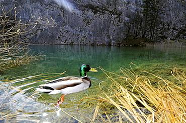 Male mallard (Anas platyrhynchos), Plitvice Jezera National Park, UNESCO World Heritage Site, Croatia, Europe