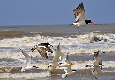 Seabirds flying at Wetland conservation area, Parque Nacional da Lagoa do Peixe, Mostardas, Rio Grande do Sul, Brazil, South America