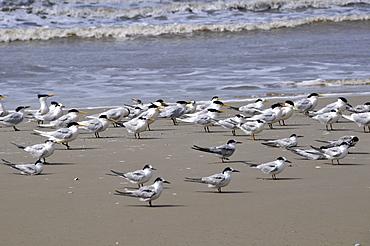 Seabirds at Wetland conservation area, Parque Nacional da Lagoa do Peixe, Mostardas, Rio Grande do Sul, Brazil, South America