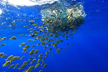 Freckled driftfish (Psenes cyanophrys) next to drifting net in open ocean, Kailua-Kona, Big Island, Hawaii, United States of America, Pacific