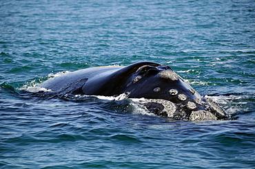 Southern right whale (Eubalaena australis) nostril detail, Imbituba, Santa Catarina, Brazil, South Atlantic, South America
