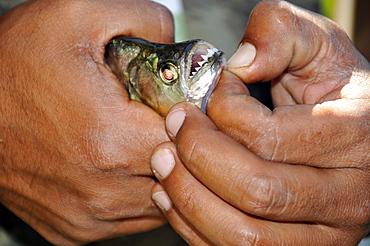 Freshly caught piranha (Pygocentrus nattereri), a carnivorous fish, Pantanal, Mato Grosso do Sul, Brazil, South America