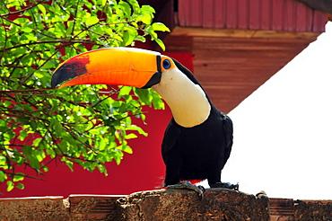 Toco toucan (Ramphastos toco), Bonito, Mato Grosso do Sul, Brazil, South America