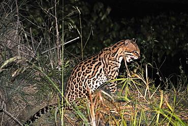 Ocelot (Leopardus pardalis) at night, Fazenda San Francisco, Miranda, Mato Grosso do Sul, Brazil, South America