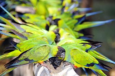 Black-hooded parakeet (Nandayus nenday), Miranda, Pantanal, Mato Grosso do Sul, Brazil, South America